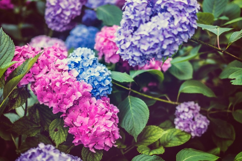 How to Change Hydrangea Color: Pink | Blue | Purple